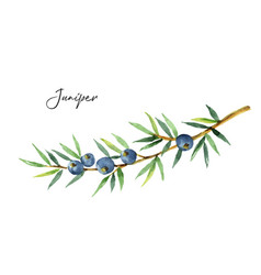 Watercolor plants juniper isolated on white vector