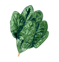 Bunch of spinach on a white background vector