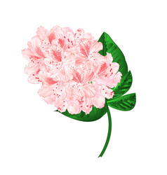 Light pink flowers rhododendron branch vector