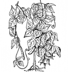 bean phaseolus vector image vector image