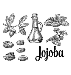 Jojoba fruit with glass jar Hand drawn vector image