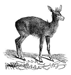 Klipspringer vintage engraving vector image vector image