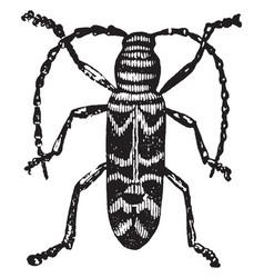 Locust borer vintage vector