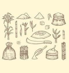 sugarcane growth healthy cultures plants crops vector image