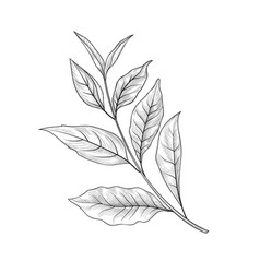 Green tea branch tea leaves sketch hand drawn vector