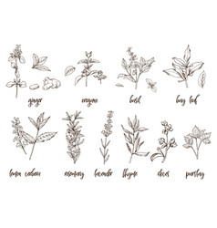 Hand drawn herbs and spices decorative background vector