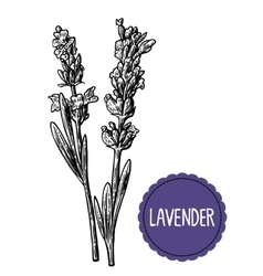 Lavender flowers sketch Hand drawn engraving vector