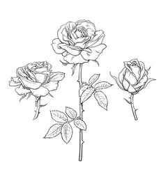 rose flower set hand drawn realistic open vector image