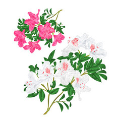 Branches pink and white flowers rhododendrons vector
