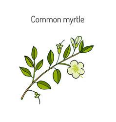 myrtle or myrtus communis vector image