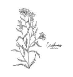 Cornflower wild field flower isolated on white vector