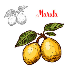 Exotic fruit marula vector
