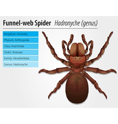Australian funnel-web spider vector