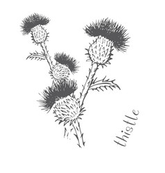 thistle painted with hand vector image vector image