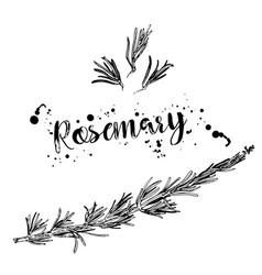 black and white drawing of a branch of rosemary vector image