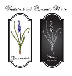 grape hyacinth muscari neglectum medicinal plant vector image