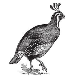 Lophortyx californicus quail vintage vector