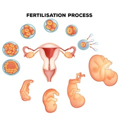 Fertilisation process on human vector