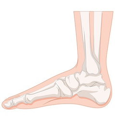 Foot bone of human vector
