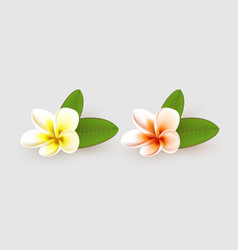 Plumeria flower with leaves on white background vector