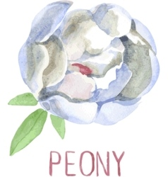Gorgeous white peony flower Watercolor vector image