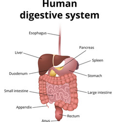 GI tract organs vector