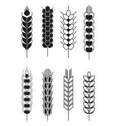 spikelets wheat and rye barley and millet cereal vector image