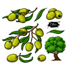 olive set hand drawn of vector image vector image