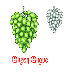 Green grape sketch isolated fruit berry vector