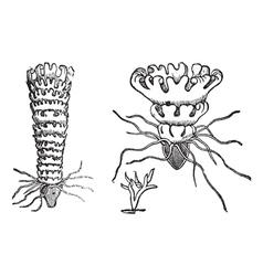 Jellyfish vintage engraving vector
