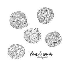 Engraved of brussels sprouts vector