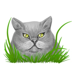 british shorthair vector image vector image