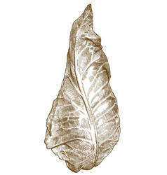 engraving of pointed cabbage vector image