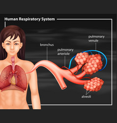 Human female respiratory system on a black vector