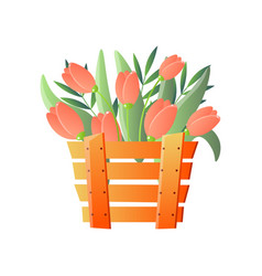 red tulips in wooden box isolated on white vector image