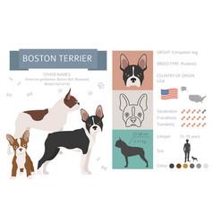 Boston terrier infographic different coat colors vector