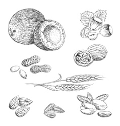 Nuts seeds beans and wheat sketches vector image
