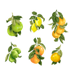 Set with fruits in such as lime lemon orange vector