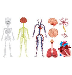 Different system in human body vector image