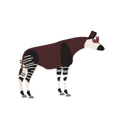 Okapi or forest giraffe isolated on white vector