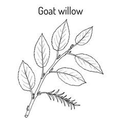 Goat willow salix caprea vector
