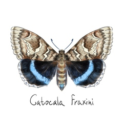 Butterfly Catocala Fraxini Watercolor imitation vector image