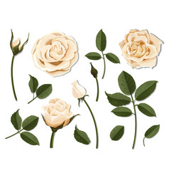 set of cream rose flower parts vector image vector image