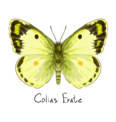 Butterfly Colias Erate vector