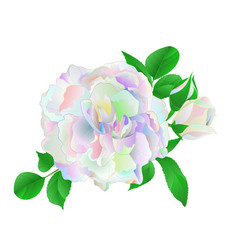 multi colored rose and buds and leaves on vector image
