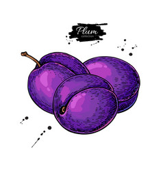 plum drawing hand drawn isolated fruit vector image