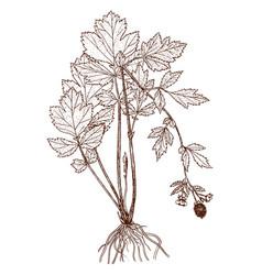 Geum allepicum vector