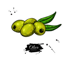 pitted olive with leaves hand drawn vector image