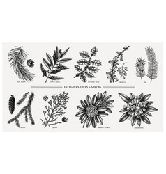 Evergreen and conifers plants collection vintage vector