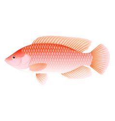 Red tilapia fish isolated vector